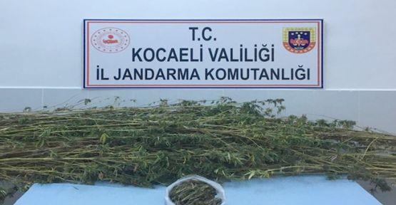 Ormanlık alanda  371 kök kenevir eve geçirildi!