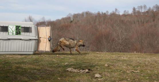 Ormanya'da tedavi edilen dişi kurt doğaya geri salındı