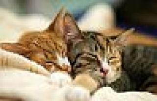 Kedilerin Sürekli Uyumalarının Nedeni ne ?